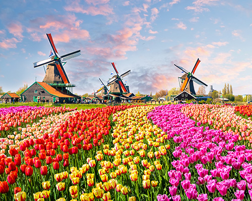 Netherlands, Zaanse Schans, Windmills and Tulips 500x400